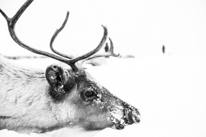 Caccia alle renne_20.jpg